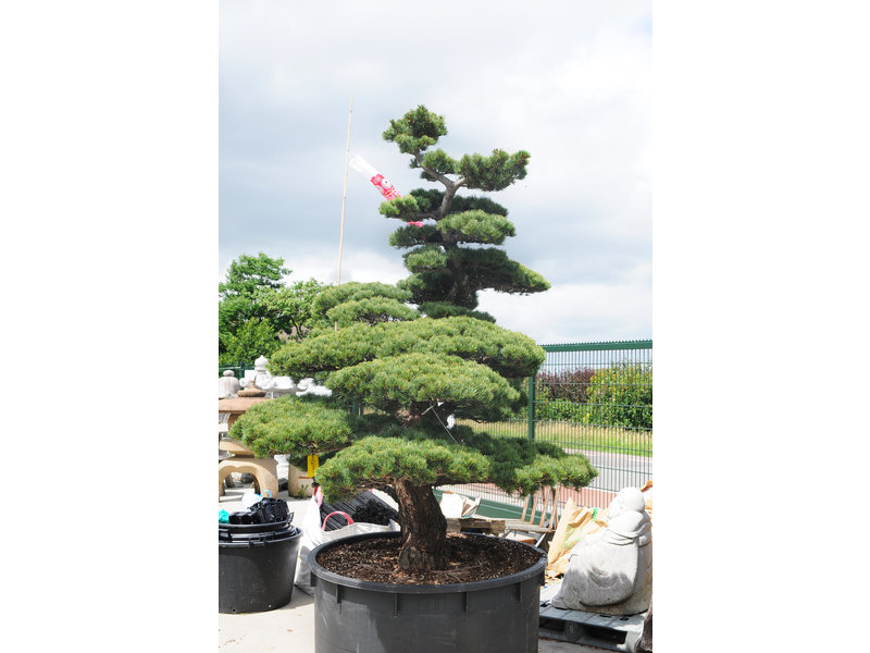 Japanese white pine, 220 cm, ± 45 years old, in a pot with a capacity of 600 liters