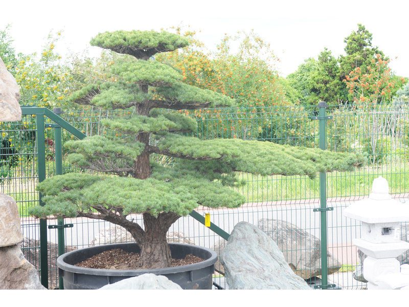 Japanese white pine, 180 cm, ± 45 years old, in a pot with a capacity of 600 liters