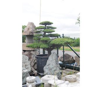 Pino bianco giapponese, 180 cm, ± 45 anni