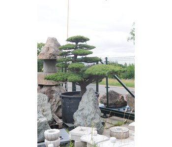 Pino blanco japonés, 180 cm, ± 45 años.