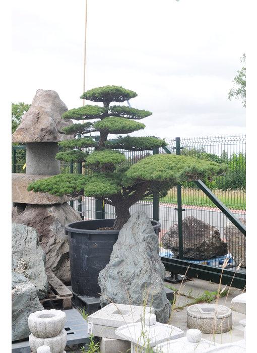 Japanese white pine, 180 cm, ± 45 years old