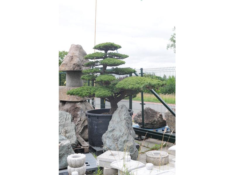 Japanische Weißkiefer, 180 cm, ± 45 Jahre alt, in einem Topf mit einem Fassungsvermögen von 600 Litern