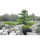 Japanese black pine, 230 cm, ± 40 years old, in a pot with a capacity of 500 liters