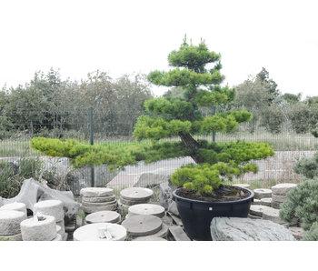 Japanse zwarte den, 230 cm, ± 40 jaar oud