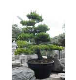 Japanische Schwarzkiefer, 230 cm, ± 40 Jahre alt, in einem Topf mit einem Fassungsvermögen von 500 Litern