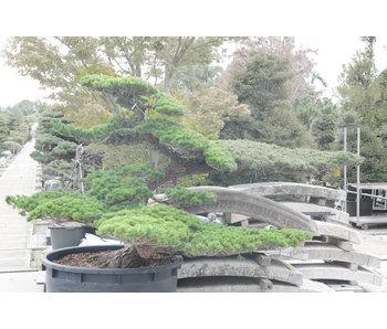 Pino blanco japonés, 160 cm, ± 50 años.