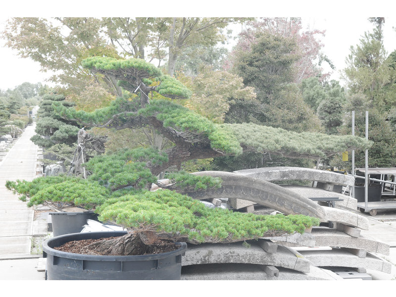 Japanese white pine, 160 cm, ± 50 years old, in a pot with a capacity of 700 liters