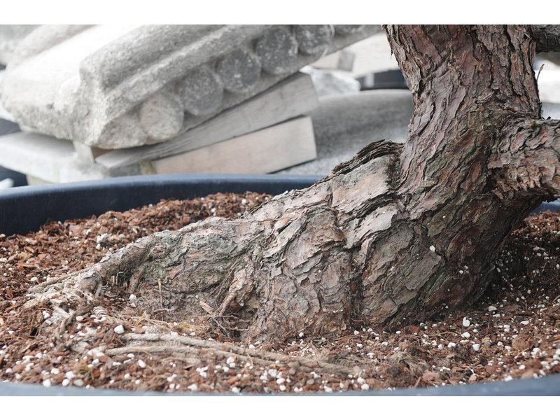 Japanische Weißkiefer, 160 cm, ± 50 Jahre alt, in einem Topf mit einem Fassungsvermögen von 700 Litern