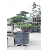 Japanse witte den, 160 cm, ± 50 jaar oud, in een pot met een inhoud van 700 liter