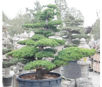 Pino bianco giapponese, 200 cm, ± 45 anni