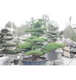 Japanse witte den, 200 cm, ± 45 jaar oud, in een pot met een inhoud van 600 liter