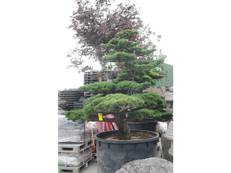 Japanese white pine, 200 cm, ± 45 years old, in a pot with a capacity of 600 liters