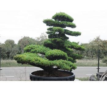 Pino bianco giapponese, 230 cm, ± 65 anni