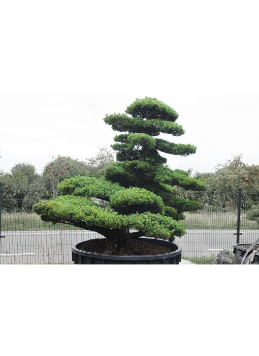 Japanese white pine, 230 cm, ± 65 years old
