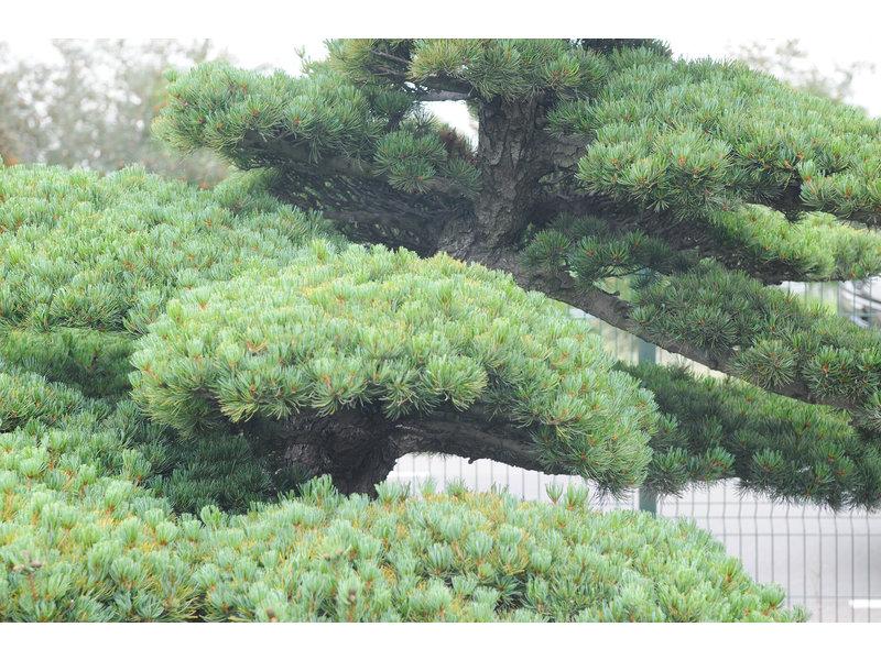 Japanische Weißkiefer, 230 cm, ± 65 Jahre alt, in einem Topf mit einem Fassungsvermögen von 1500 Litern