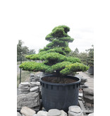 Japanse witte den, 230 cm, ± 65 jaar oud, in een pot met een inhoud van 1500 liter