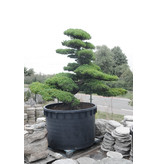 Japanese white pine, 230 cm, ± 65 years old, in a pot with a capacity of 1500 liters