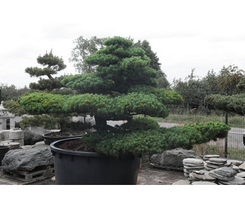 Japanese white pine, 180 cm, ± 67 years old