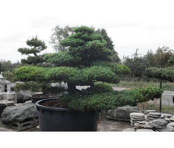 Pino blanco japonés, 180 cm, ± 67 años.