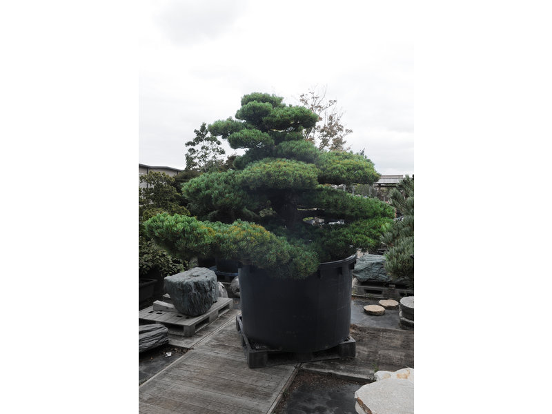 Japanese white pine, 180 cm, ± 67 years old, in a pot with a capacity of 1000 liters