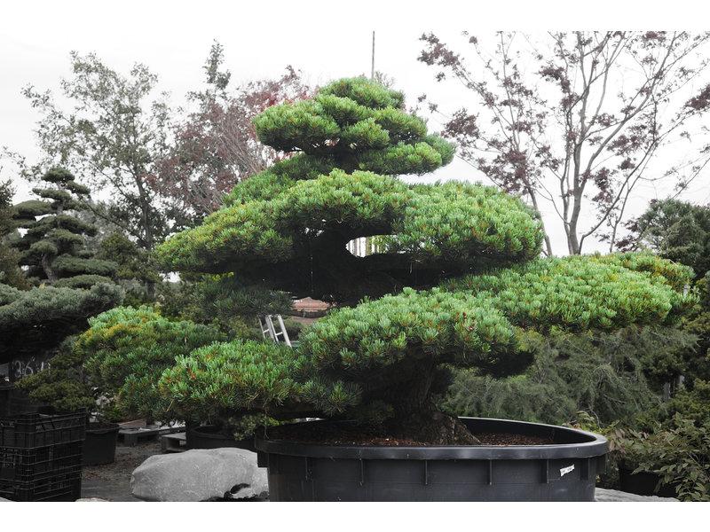 Japanse witte den, 180 cm, ± 67 jaar oud, in een pot met een inhoud van 1000 liter