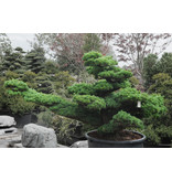 Japanese white pine, 160 cm, ± 45 years old, in a pot with a capacity of 525 liters