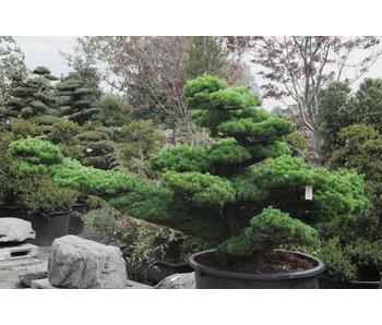 Pino blanco japonés, 160 cm, ± 45 años.