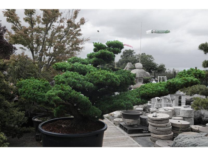 Japanse witte den, 160 cm, ± 45 jaar oud, in een pot met een inhoud van 525 liter