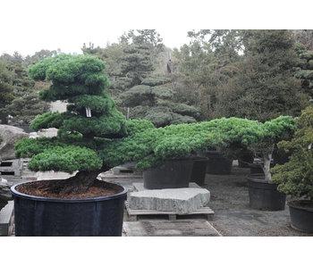 Pin blanc du Japon, 140 cm, ± 40 ans