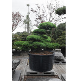 Japanese white pine, 140 cm, ± 40 years old, in a pot with a capacity of 600 liters