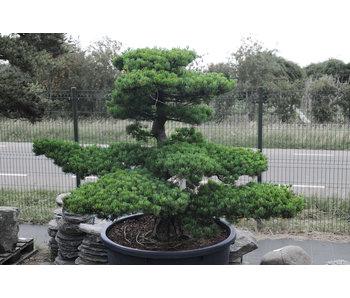 Pino blanco japonés, 150 cm, ± 40 años.