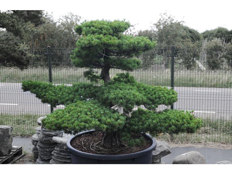 Japanse witte den, 150 cm, ± 40 jaar oud, in een pot met een inhoud van 525 liter