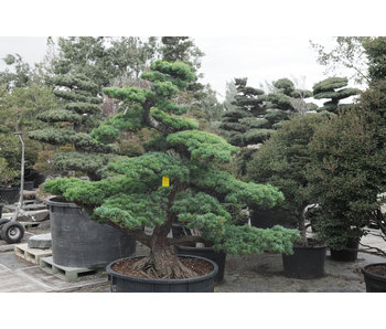 Japanese white pine, 170 cm, ± 40 years old