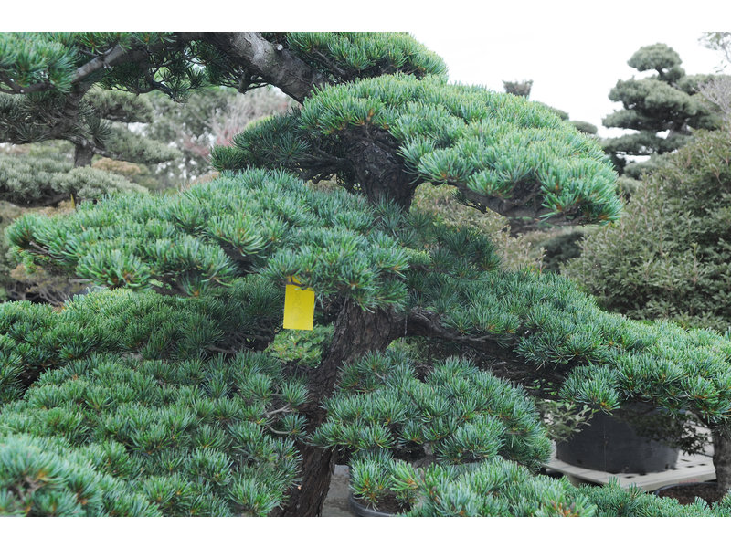 Japanese white pine, 170 cm, ± 40 years old, in a pot with a capacity of 400 liters
