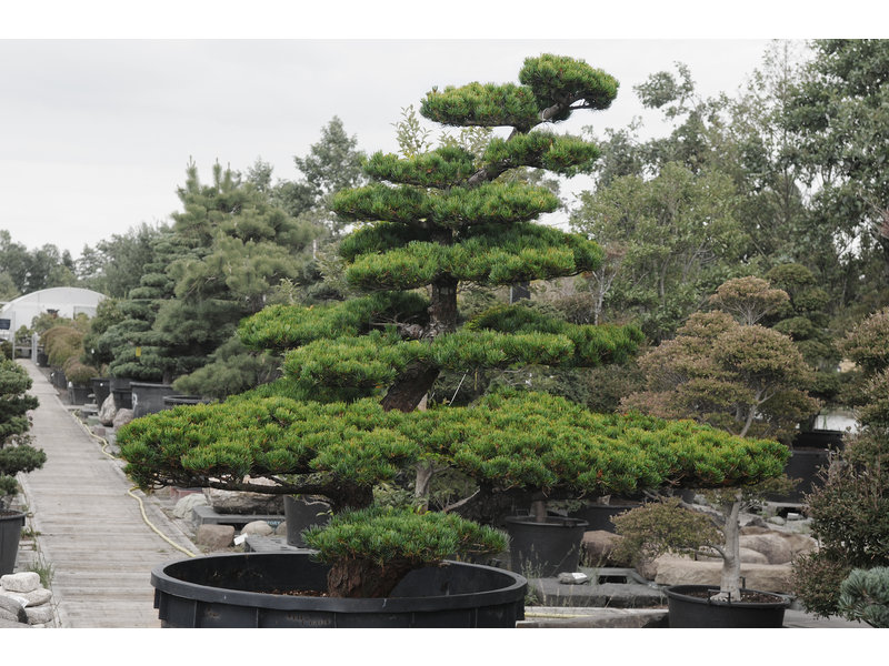 Japanese white pine, 190 cm, ± 35 years old, in a pot with a capacity of 750 liters