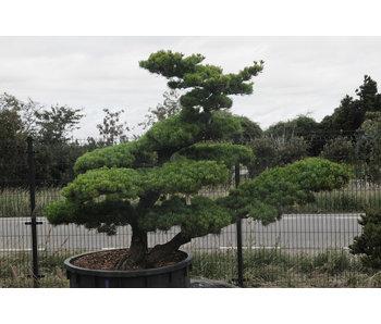 Pino blanco japonés, 160 cm, ± 40 años.