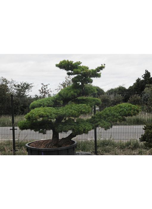 Japanese white pine, 160 cm, ± 40 years old