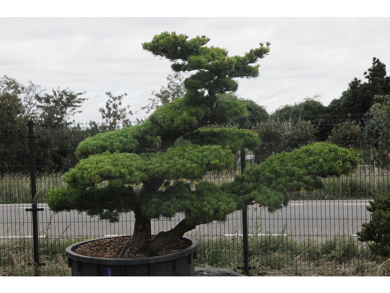 Japanse witte den, 160 cm, ± 40 jaar oud, in een pot met een inhoud van 500 liter