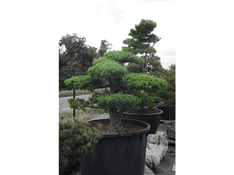 Japanese white pine, 160 cm, ± 40 years old, in a pot with a capacity of 500 liters