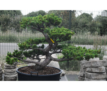 Japanese white pine, 100 cm, ± 35 years old