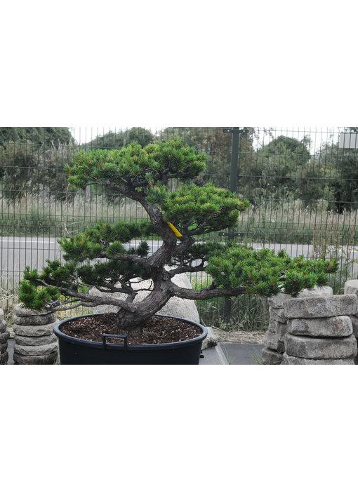 Japanese white pine, 100 cm, ± 35 years old