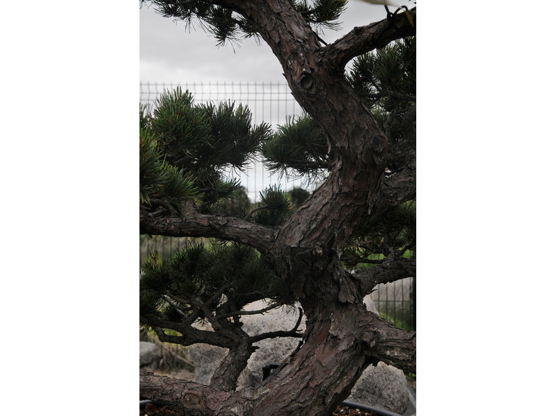 Japanese white pine, 100 cm, ± 35 years old, in a pot with a capacity of 160 liters