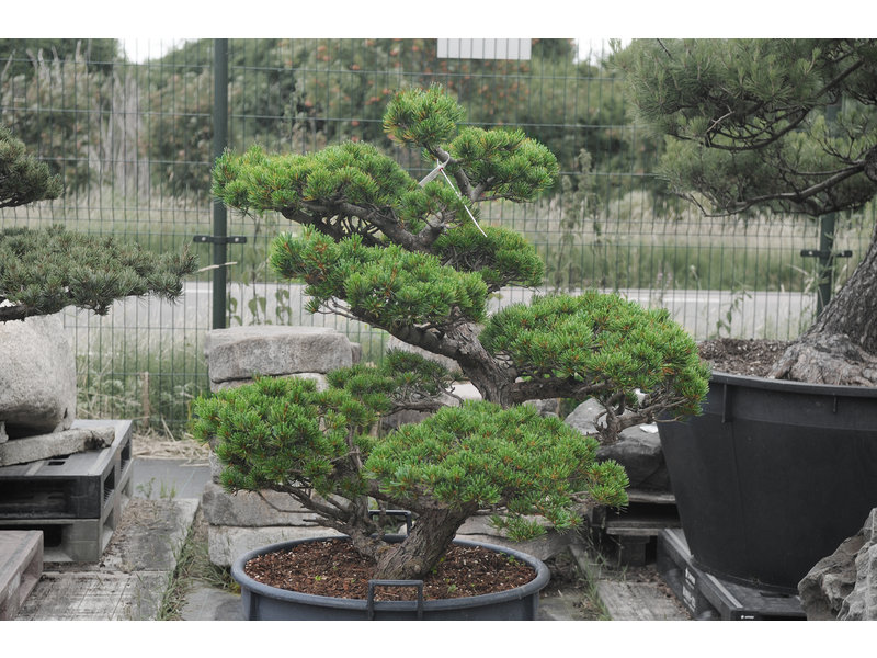 Japanese white pine, 90 cm, ± 30 years old, in a pot with a capacity of 125 liters