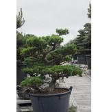 Japanse witte den, 90 cm, ± 30 jaar oud, in een pot met een inhoud van 125 liter