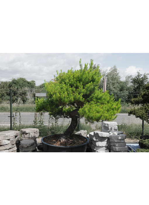 Japanese red pine, 190 cm, ± 40 years old