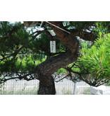 Japanische Rotkiefer, 190 cm, ± 40 Jahre alt, in einem Topf mit einem Fassungsvermögen von 500 Litern
