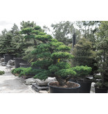 Japanese white pine, 180 cm, ± 35 years old, in a pot with a capacity of 360 liters