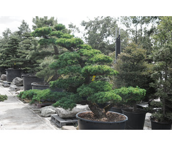 Japanese white pine, 180 cm, ± 35 years old