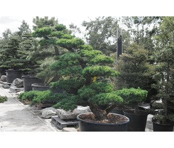 Pino bianco giapponese, 180 cm, ± 35 anni