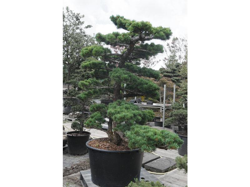 Pino bianco giapponese, 180 cm, ± 35 anni, in una pentola con una capacità di 360 litri